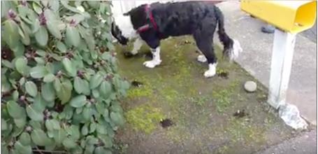 Dog nosework