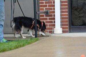 Dog sniffing stone