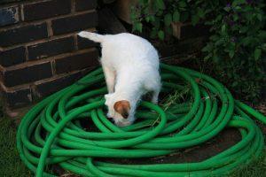 White Dog Sniffing Hose